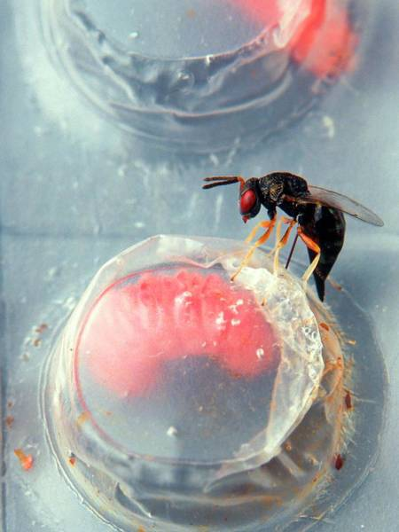 Biological Pest Control Photograph - Parasitic Wasp On Boll Weevil Larva by Scott Bauer/us Department Of Agriculture