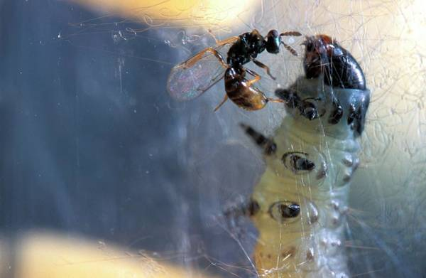 Biological Pest Control Photograph - Parasitic Wasp On Leafroller Larva by Stephen Ausmus/us Department Of Agriculture