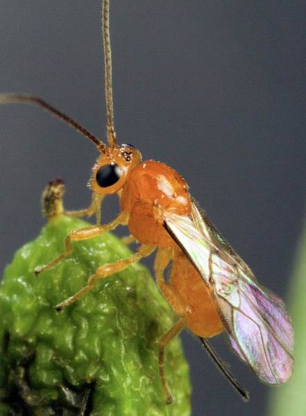 Wall Art - Photograph - Parasitoid Wasp by Peggy Greb/us Department Of Agriculture/science Photo Library