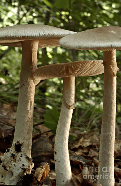 Photograph - Parasol Mushrooms Macrolepiota Sp by Susan Leavines