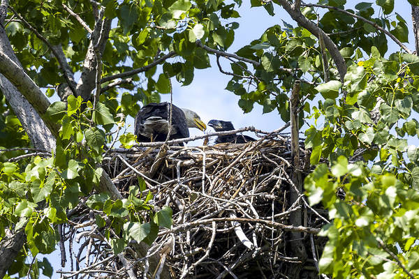 Photograph - Parent And Eaglet At Lunch by Jack R Perry