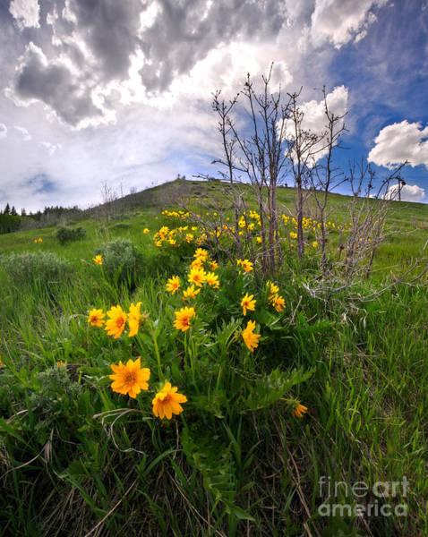 Balsamorhiza Sagittata Photograph - Park City Slopes In Spring by Matt Tilghman