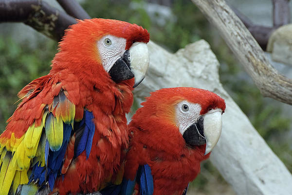 Photograph - Parrot Buddies by Wes and Dotty Weber