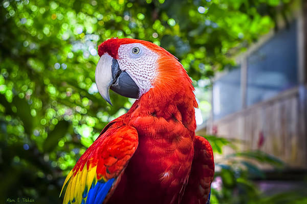 Photograph - Parrot Of Two Worlds - Scarlet Macaw by Mark Tisdale