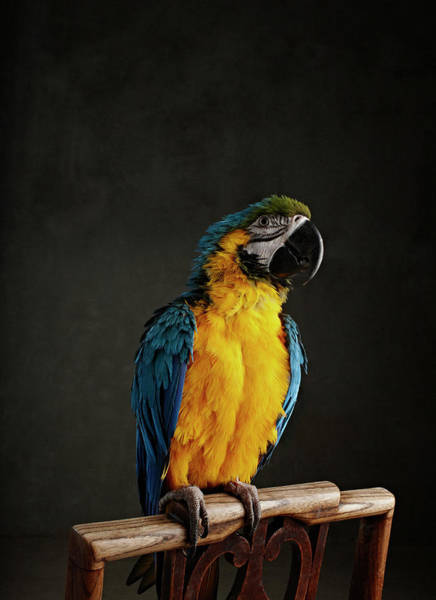 Macaw Photograph - Parrot Perched On Chair by Zena Holloway