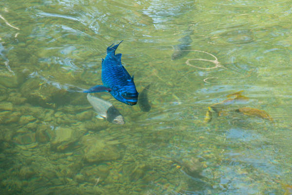 Photograph - Parrotfish On A Swim by John M Bailey