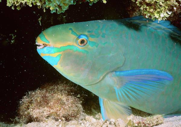 Parrotfish Sleeping Art Print