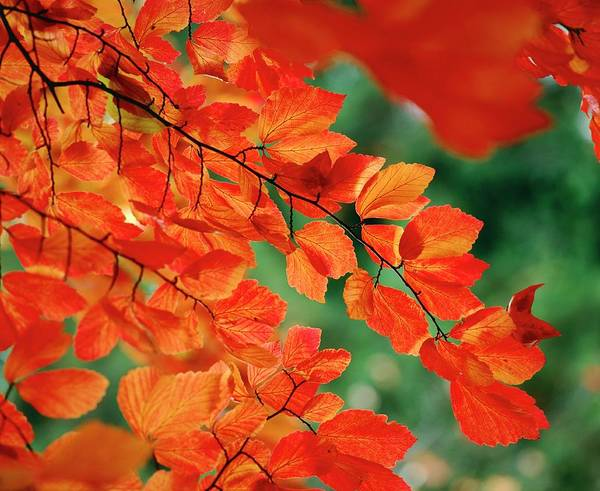 Persica Wall Art - Photograph - Parrotia Persica by Andrew Cowin/science Photo Library