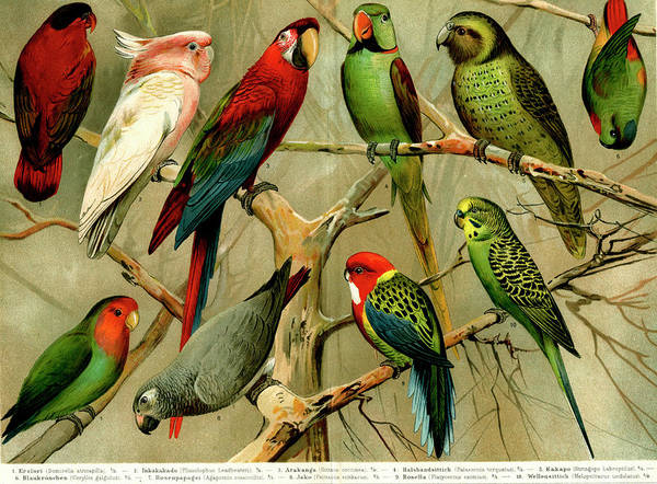Macaw Photograph - Parrots by Collection Abecasis/science Photo Library
