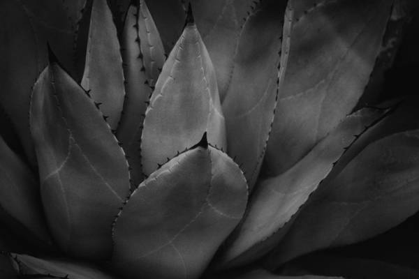 Photograph - Parrys Agave  by Ben Shields
