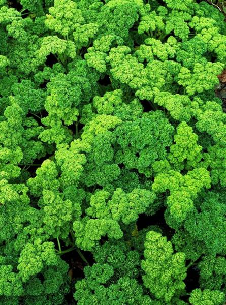 Wall Art - Photograph - Parsley 'grune Perle' by Geoff Kidd/science Photo Library