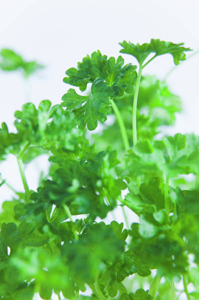 Parsley Photograph - Parsley Leaves by Gustoimages/science Photo Library