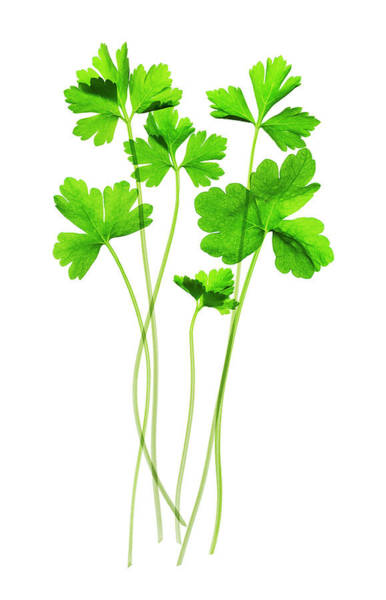 Parsley Photograph - Parsley (petroselinum Crispum) by Gustoimages/science Photo Library