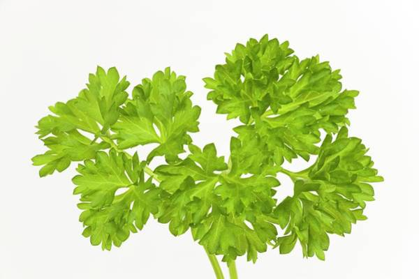 Parsley Photograph - Parsley Sprigs by Ann Pickford