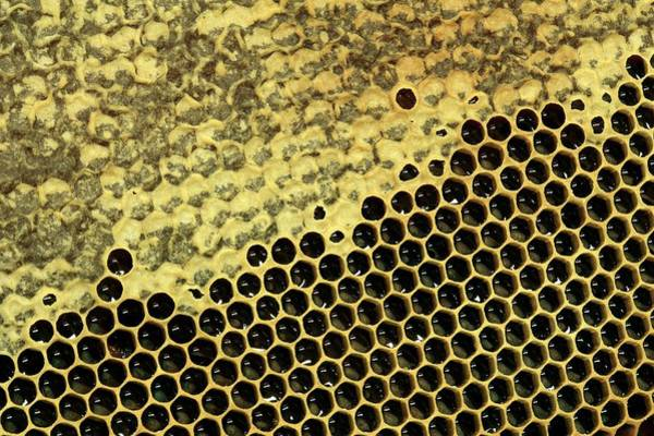 Foodstuff Photograph - Partially Capped Honeycomb by Mauro Fermariello