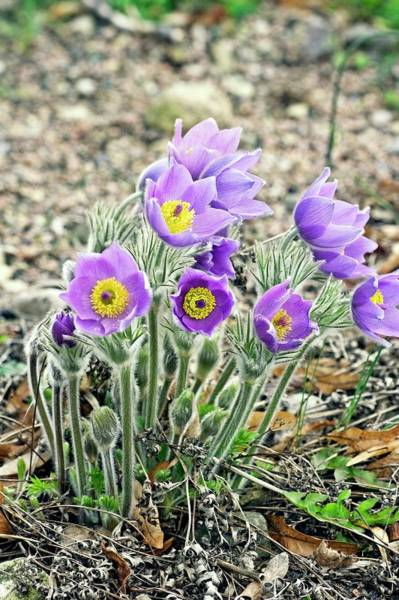 Wall Art - Photograph - Pasque Flowers (pulsatilla Vulgaris) by Dan Sams/science Photo Library