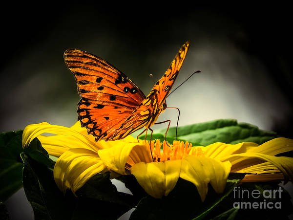 Passion Butterfly Photograph - Passion Butterfly At Night by Zina Stromberg