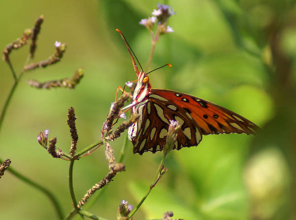 Photograph - Passion Butterfly by Kim Pate