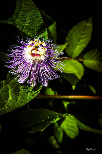 Photograph - Blossom - Floral - Passion Flower 1 by Barry Jones