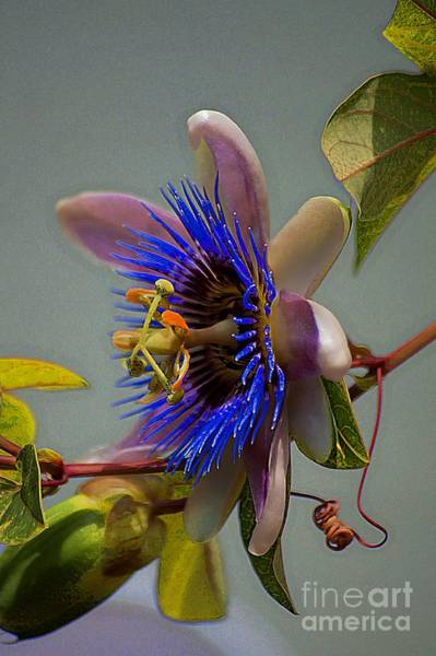 Photograph - Passion Flower by John  Kolenberg