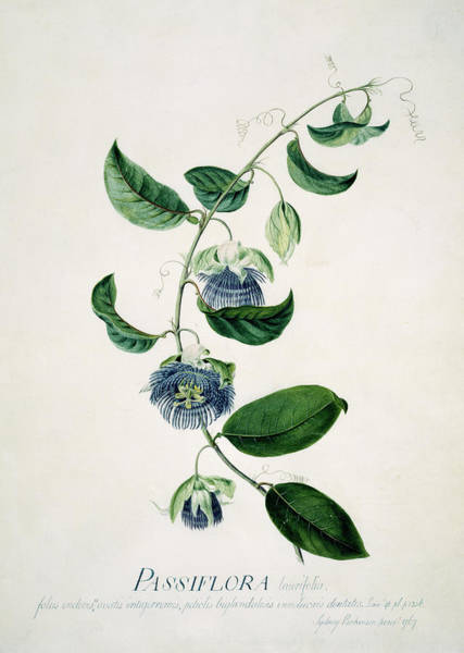 Passion Flower Photograph - Passion Flower by Natural History Museum, London/science Photo Library