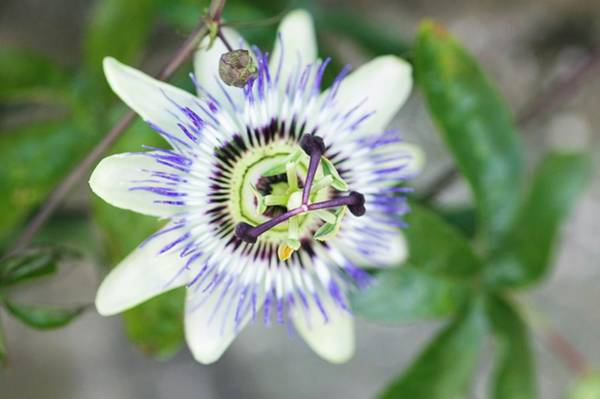 Carpel Photograph - Passion Flower (passiflora Sp.) by Gustoimages/science Photo Library