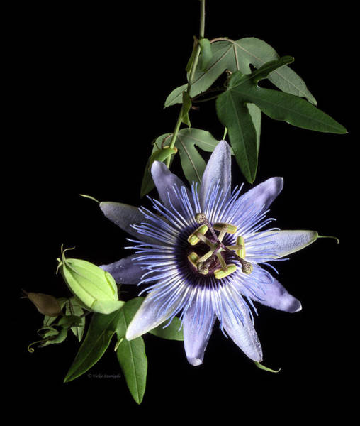 Purple Haze Photograph - Passion Flower by Vickie Szumigala