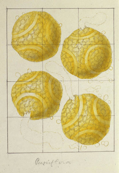 Wall Art - Photograph - Passion Fruit (passiflora Sp.) Pollen by Natural History Museum, London/science Photo Library