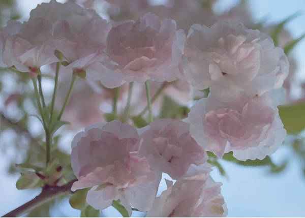 Photograph - Pastel Bloom by Rima Biswas