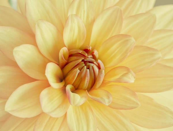 Photograph - Pastel Dahlia by Kim Hojnacki