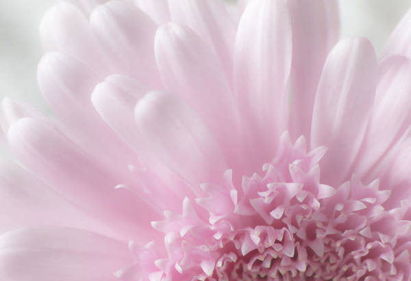 Breast Cancer Awareness Wall Art - Photograph - Pastel Daisy by Dale Kincaid