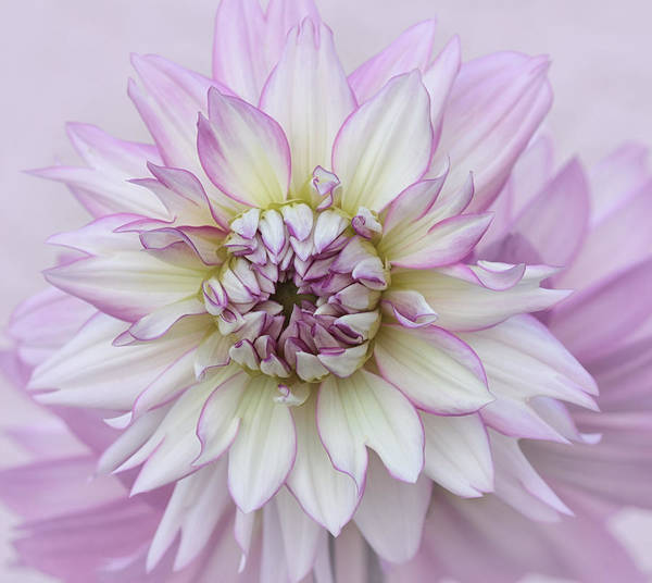 Photograph - Pastel Purple Dahlia by Kim Hojnacki