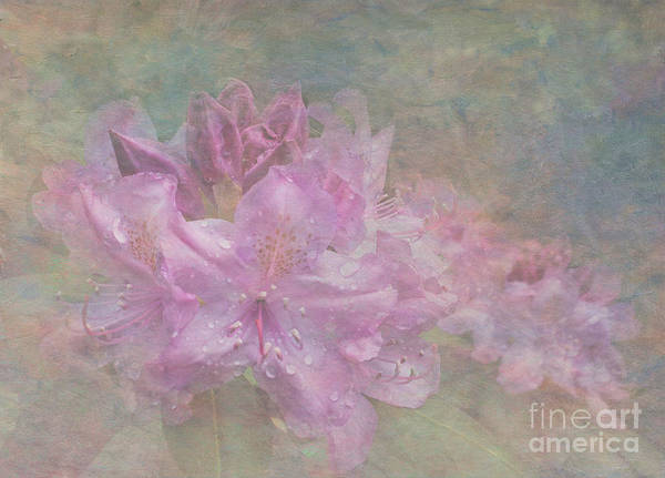 Azalia Photograph - Pastel Rhododendron by Arlene Carmel