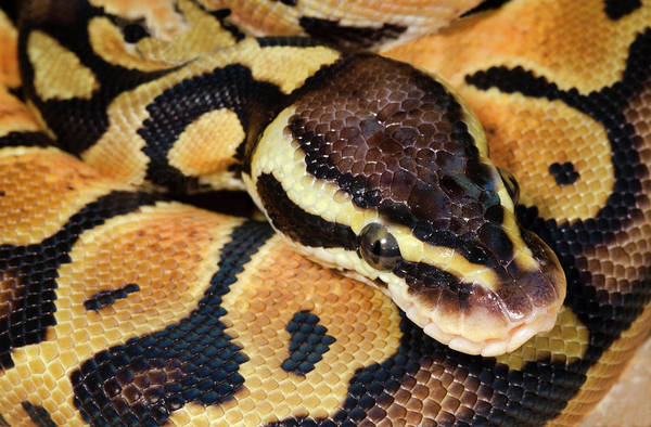 Infrared Radiation Photograph - Pastel Royal Python by Nigel Downer