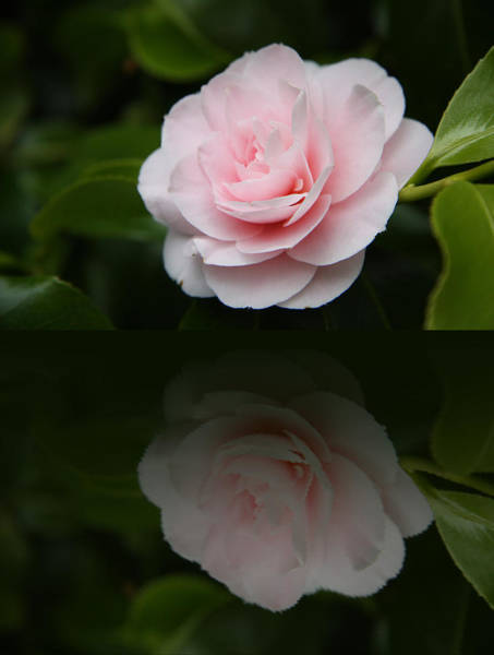 Camelia Photograph - Pastel Satin  by Christiane Schulze Art And Photography