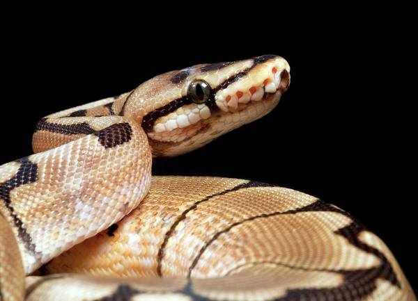 Infrared Radiation Photograph - Pastel Variant Royal Python by Pascal Goetgheluck/science Photo Library