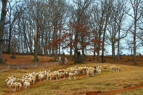 Photograph - Pastoral Sheep by Carol Montoya