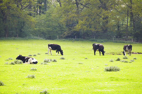 Grazing Photograph - Pastureland With Content Cows Grazing by Martin Leigh