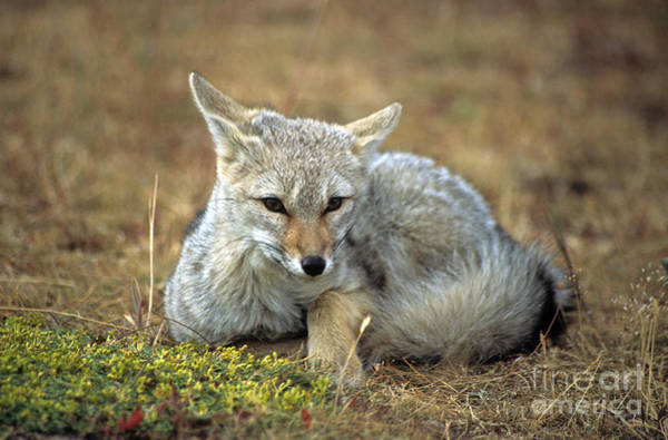 Photograph - Patagonian Grey Fox Portrait by James Brunker