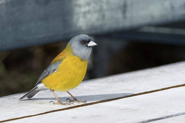Finch Photograph - Patagonian Sierra Finch by Dr P. Marazzi/science Photo Library