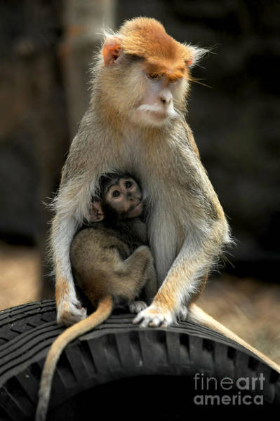 Monkey Wall Art - Photograph - Patas Monkey by HD Connelly