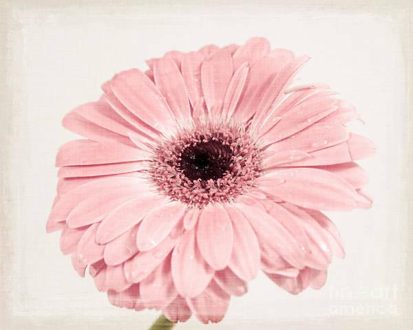 Wall Art - Photograph - Pastel Pink Gerbera by Lucid Mood