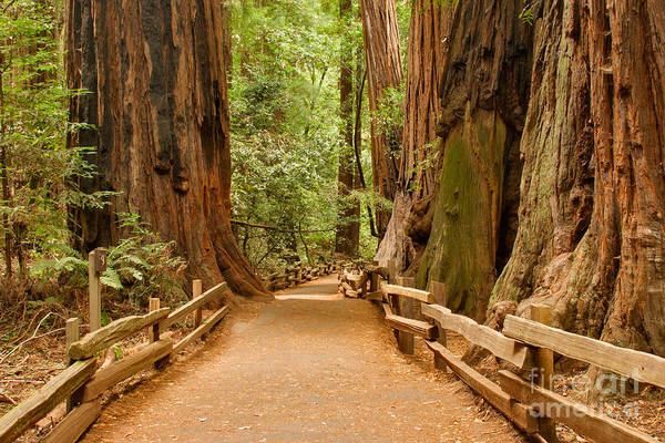 Photograph - Path Of The Giants by Charles Kozierok