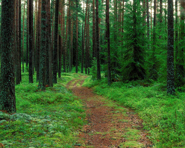 Forestry Photograph - Path Through Forestry. by Bjorn Svensson/science Photo Library