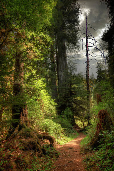 Storm Photograph - Path Through Redwood Forest by Ed Freeman