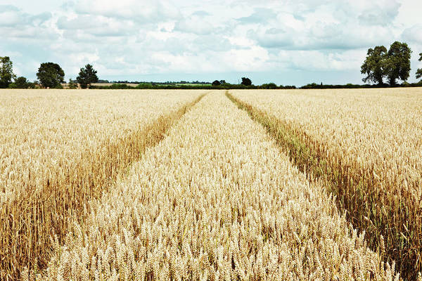 Warwickshire Photograph - Paths Carved In Field Of Tall Wheat by Robin James