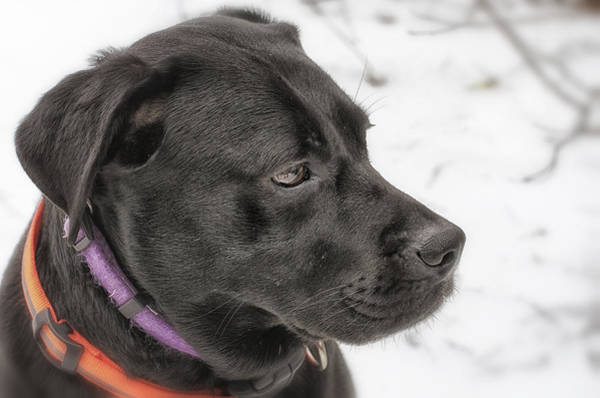 Black Lab Photograph - Patience by Susan Capuano