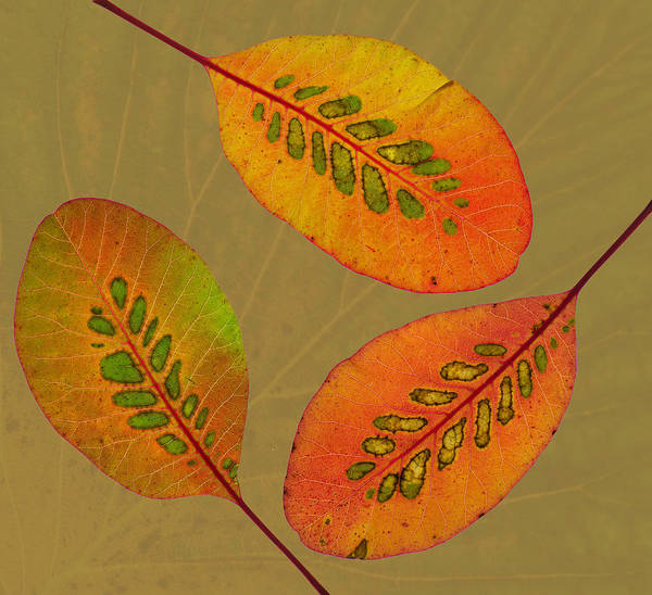 Photograph - Patterned Leaves II by Pete Hemington
