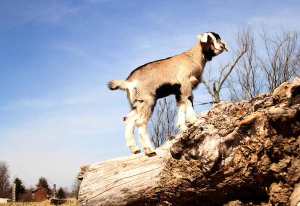 Photograph - Paul's Goat by David Yocum