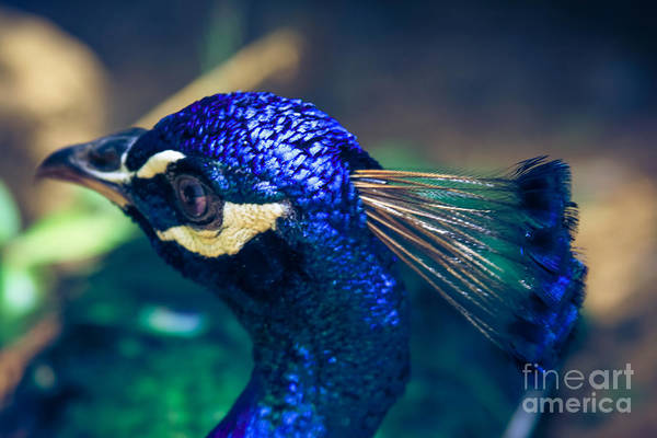 Photograph - Pavo Cristatus - Indian Blue Peacock - Maui Hawaii by Sharon Mau